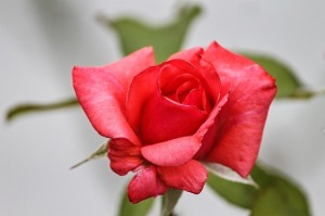 rose-3557859_640.jpg