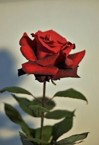 red-rose-2759478_640